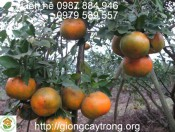 Giống Cam Bù Hương Sơn-Cách trồng và chăm sóc cam bù Hương Sơn