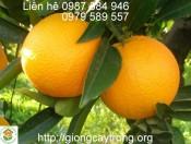 Cây Giống Cam Chanh