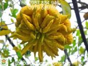 Giống Cây Phật Thủ- Quy trình kỹ thuật trồng phật thủ