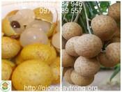 Giống Nhãn Hương Chi