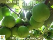 Cây giống táo Thái Lan