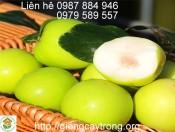 Cây giống táo Đài Loan