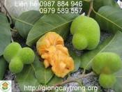 Cây chay hạt 15-20cm