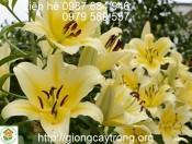 Củ Giống Hoa Ly Vàng Serano