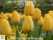 Củ Giống Tulip Golden Parade