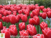 Củ Giống Tulip Kung-Fu