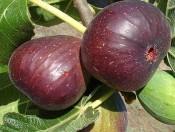 Cây Giống Sung Mỹ -Cây ăn quả độc đáo dinh dưỡng cao