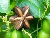Cây Giống Sa Chi- Hướng dẫn trồng và chăm sóc