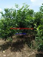 Cây giống Cam Vinh 1 -2 năm