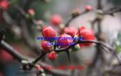 Hoa mai đỏ- Hướng dẫn cách chọn hoa mai đỏ đẹp chơi tết