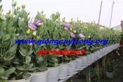 Hoa cát tường- Sỉ lẻ hoa cát tường chậu toàn quốc