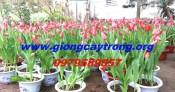 Hoa Tulip- Sỉ lẻ hoa tulip tết