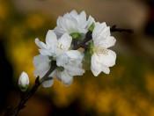 Cây giống hoa Đào Bạch