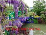 Cây hoa Tử Đằng - Cách trồng và chăm sóc hoa Tử Đằng ở Việt Nam