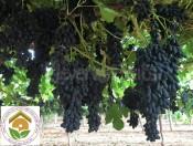 Cây giống nho ngón tay hướng dẫn cách trồng và chăm sóc