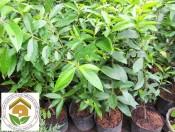 Cây giống vối nếp  Công dụng và cách trồng
