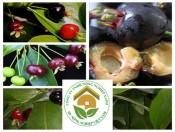 Cây giống Cherry Brazil | đặc điểm và cách trồng