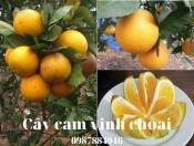 Cây cam Vinh choai