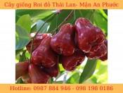 Giống Roi Đỏ Thái Lan
