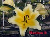 Củ giống hoa ly Manissa