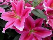 Củ giống hoa ly hồng Lake Carey