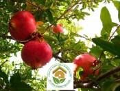 Cây lựu đỏ | giống ngoại nhập quả sai ăn ngọt mát
