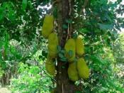 Cây giống mít dài malaysia