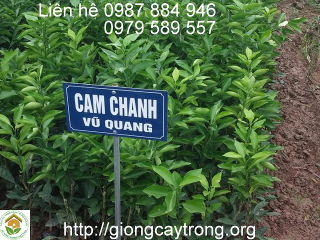 cay-giong-cam-chanh