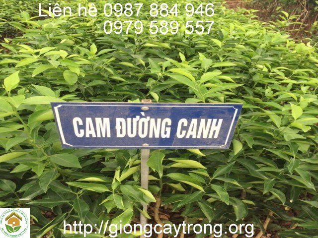cay giong cam duong canh