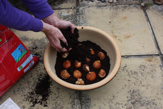 trồng tulip vao chậu