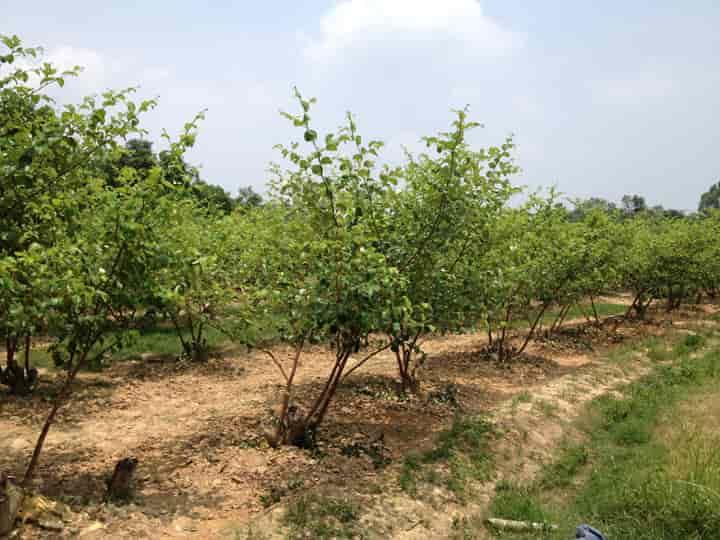 mật độ trồng táo