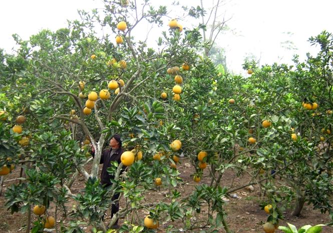 Hiệp Hòa trồng bưởi lãi 25 triệu đồng một sào